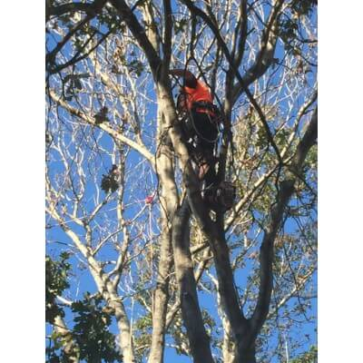 Pruning and canopy thinning Sydney